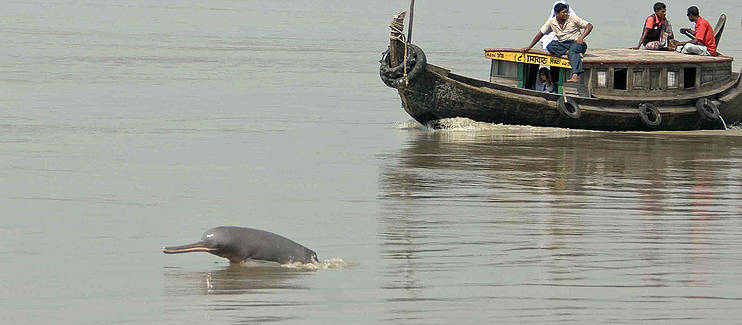 The Ganges shark, once common in the waters of the Ganges River, is now endangered. The same is true of the Ganges river dolphin.