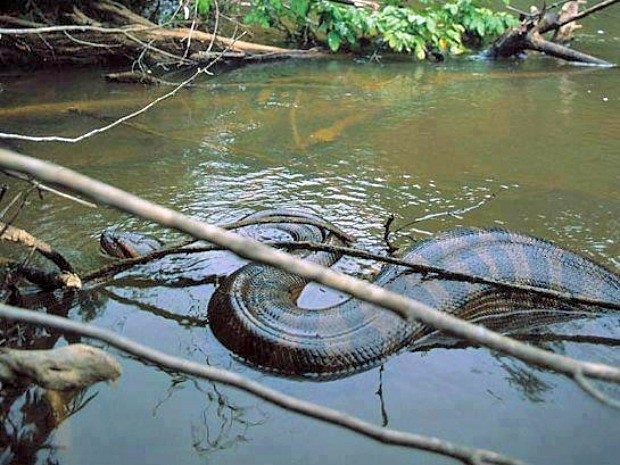 Anacondas lurk in the shallow waters of the Amazon Basin, they are one of the largest snakes in the world and occasionally attack larger animals such as goats that get to close the water.